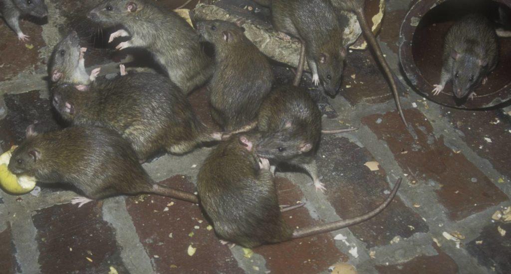 уничтожение крыс в Тарко-Сале